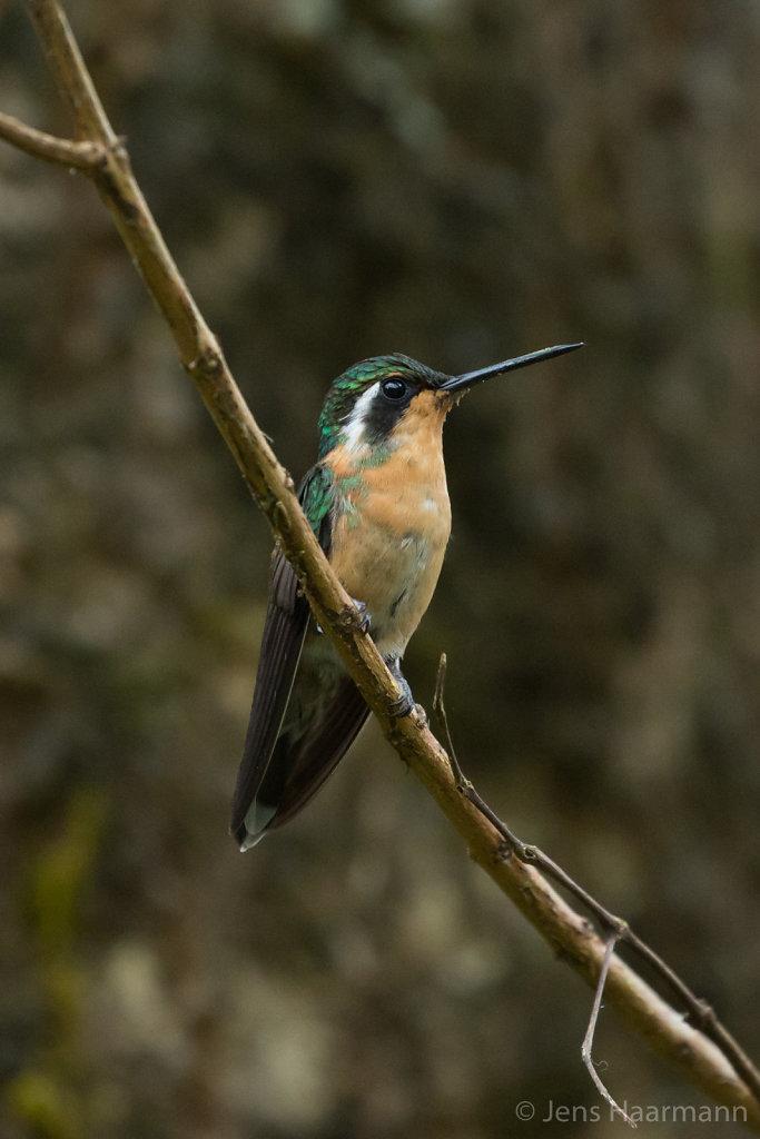 Kolibri - Purpurkehl-Nymphe (Weibchen)