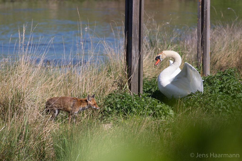Rotfuchs trifft auf Höckerschwan