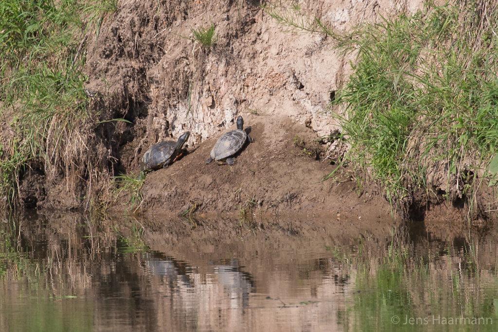Langhalsschmuckschildkröten