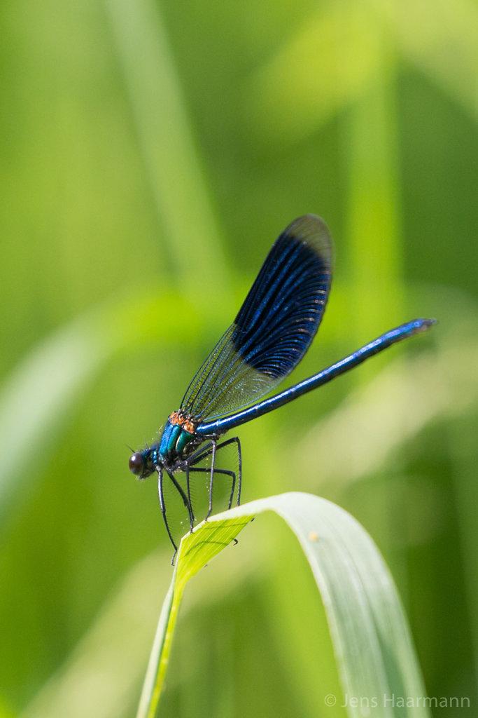 Gebänderte Pracht-Libelle