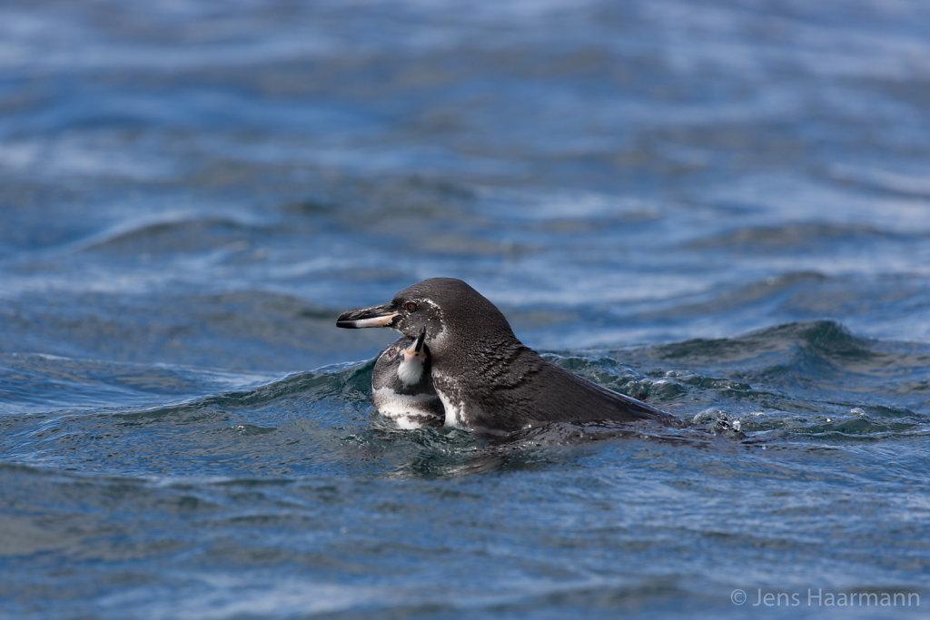 Galápagos-Pinguine