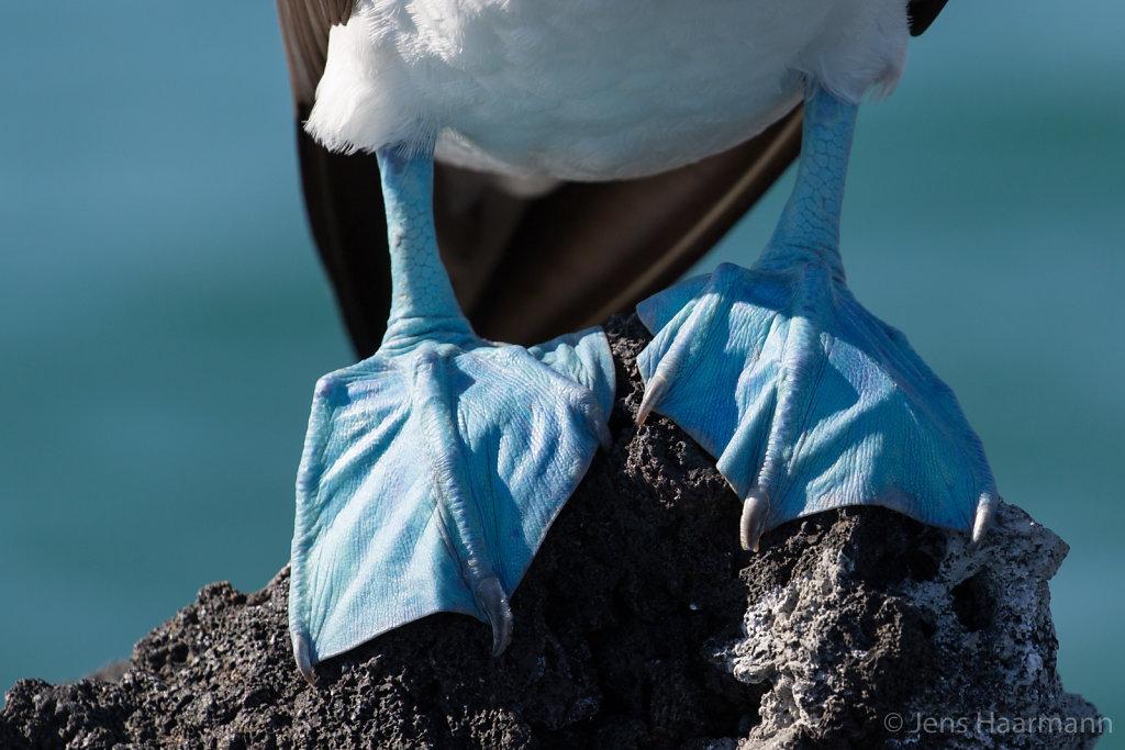Blaufuß(tölpel)
