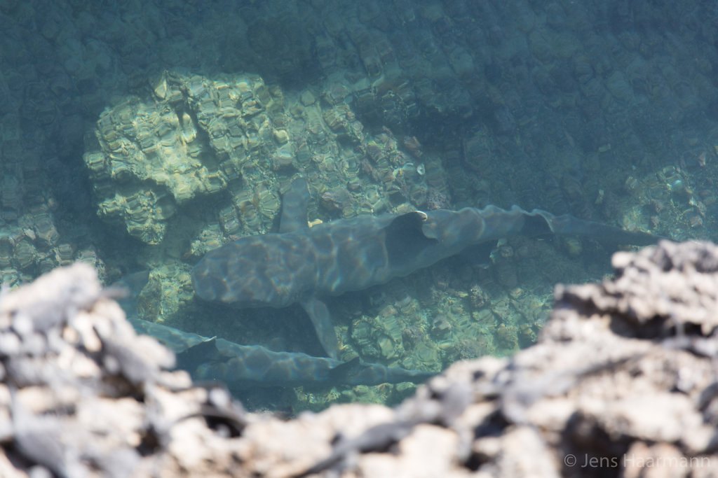 Weißspitzen-Riffhai